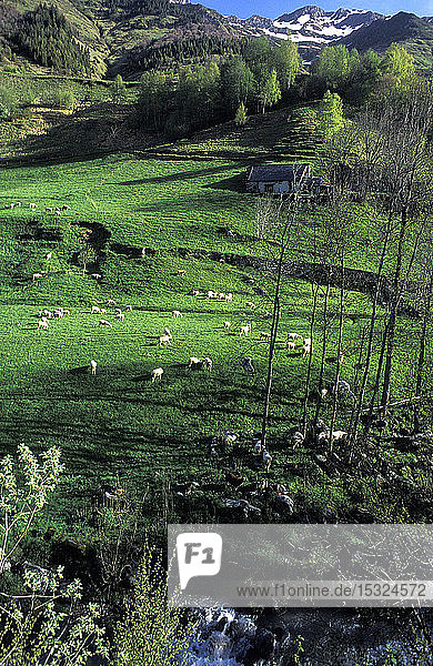 France  Pyrenees National Park  Hautes-Pyrenees  region around Luz-St-Sauveur  terrace meadow for meat-producing sheep breeding of the PDO Bareges-Gavarnie.