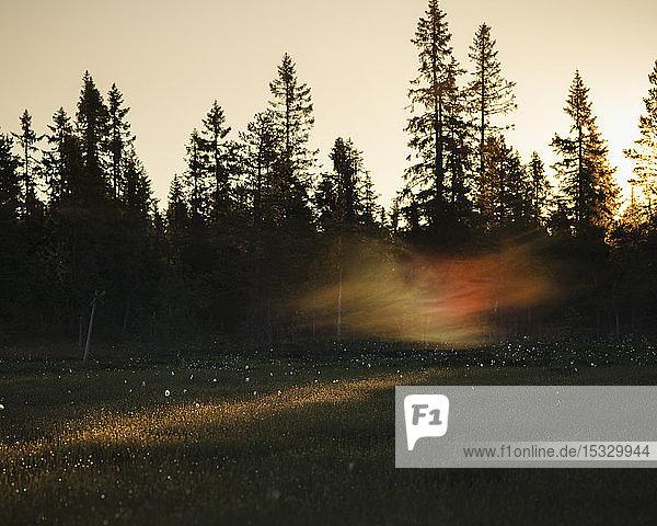 Pine trees at sunset in Koppgangen Nature Reserve  Sweden