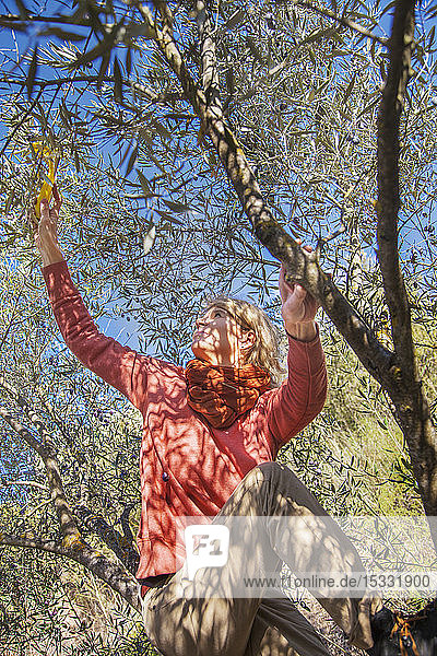 Woman picking olives from tree Woman picking olives from tree