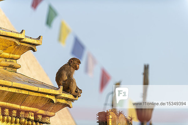 A macaque monkey at Swayambhunath (Monkey Temple) in front of prayer flags  UNESCO World Heritage Site  Kathmandu Valley  Nepal  Asia