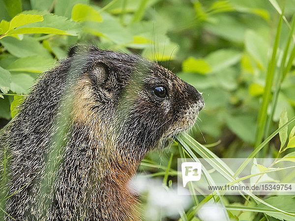Adult Yellow-bellied marmot (Marmota flaviventris) feeding at Phelps Lake  Grand Teton National Park  Wyoming  United States of America  North America