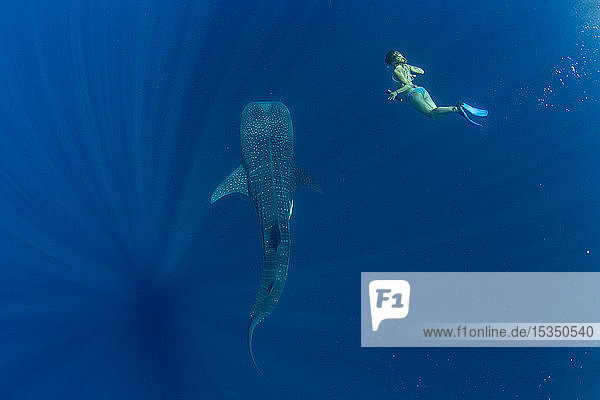 Tourist swimming with a whale shark (Rhincodon typus) in Honda Bay  Palawan  The Philippines  Southeast Asia  Asia