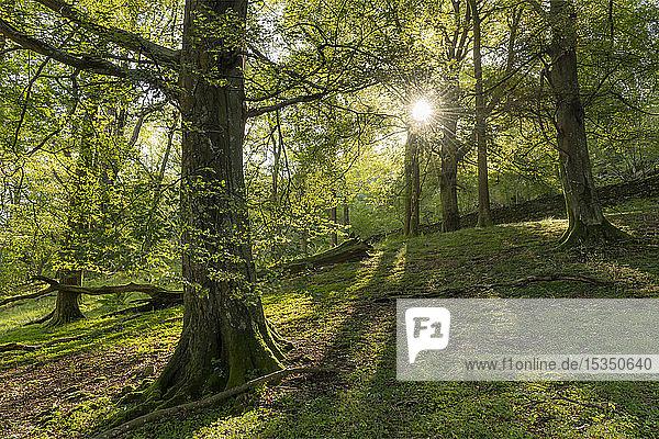 Deciduous woodland near Rydal Water  Lake District National Park  UNESCO World Heritage Site  Cumbria  England  United Kingdom  Europe