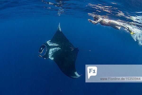 Oceanic manta ray (Manta birostris) feeding near the surface  Honda Bay  Palawan  The Philippines  Southeast Asia  Asia