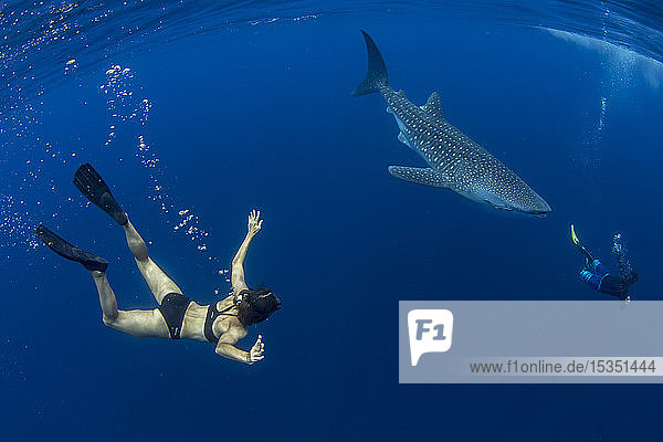 Tourist and tour guide swimming with a whale shark (Rhincodon typus) in Honda Bay  Palawan  The Philippines  Southeast Asia  Asia