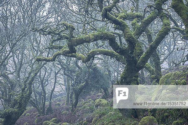 Moss covered tree in Wistman's Wood in winter  Dartmoor National Park  Devon  England  United Kingdom  Europe