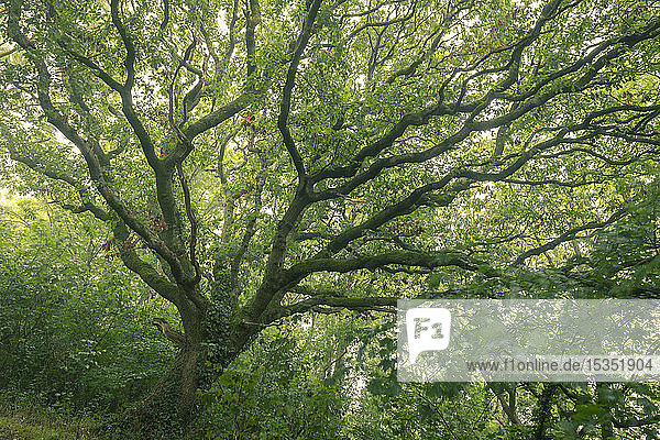 English Oak tree with summer foliage  Cornwall  England  United Kingdom  Europe