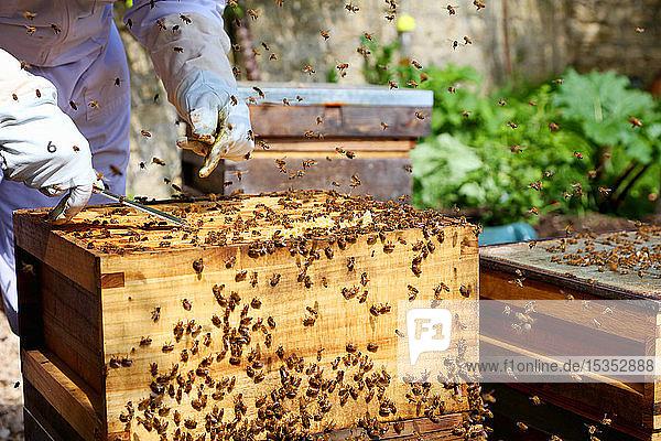 Male beekeeper tending beehive in walled garden  cropped
