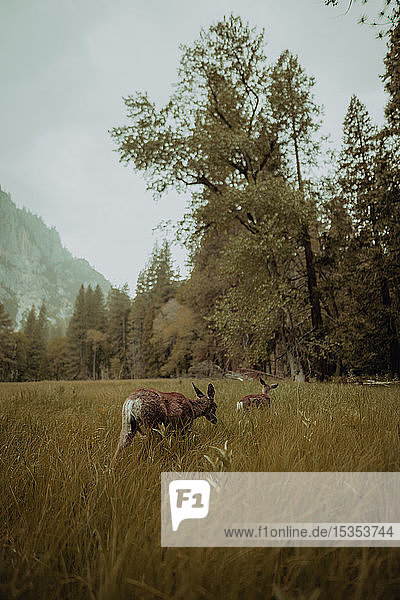 Deers grazing in nature reserve  Yosemite National Park  California  United States
