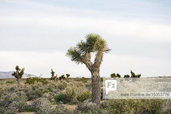 Joshua-Baum in Wüstenlandschaft  Olancha  Kalifornien  USA