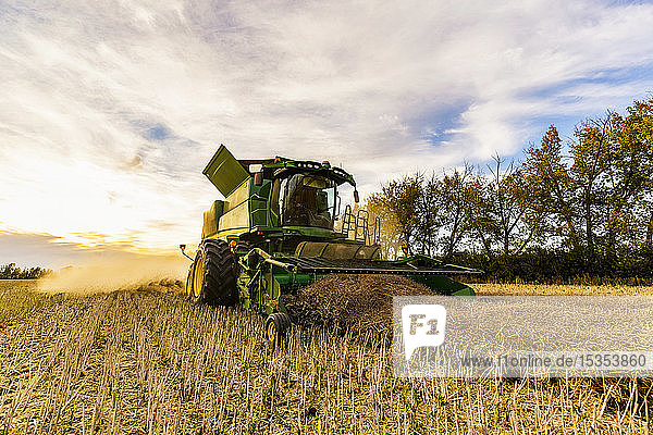Harvesting a canola crop with a combine on a swathed crop at sunset; Legal  Alberta  Canada