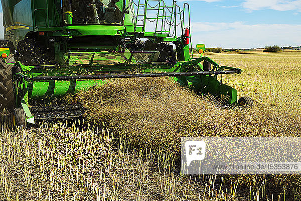 A close-up of a pickup header of a combine  harvesting canola on a swathed field; Legal  Alberta  Canada
