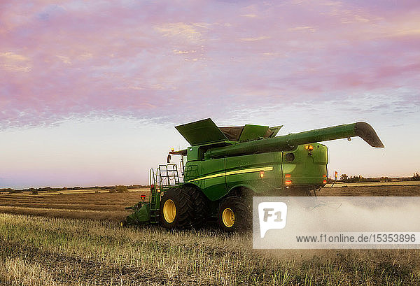View from behind of a combine harvesting canola at sunset; Legal  Alberta  Canada