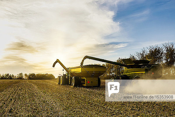 View from behind of canola harvesting and transferring the seeds to a grain buggy pulled by a tractor; Legal  Alberta  Canada
