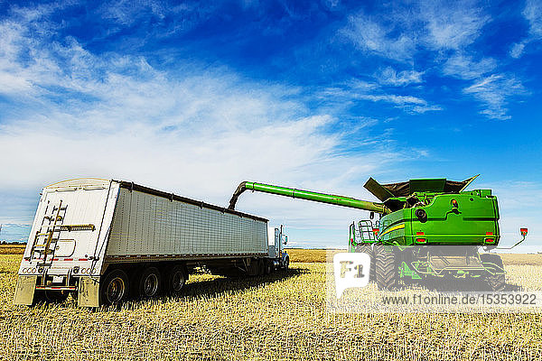 Harvesting canola and transferring the load from the combine to a grain truck using the auger; Legal,  Alberta,  Canada