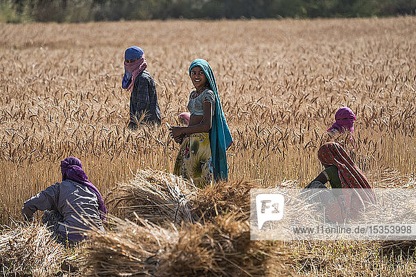 Women working in a wheat field near Jawai; Rajasthan,  India