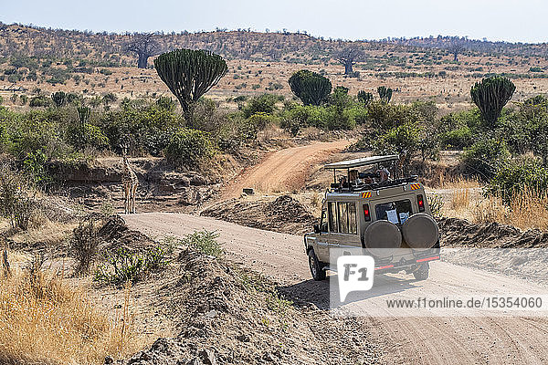 Safari vehicle with photographers approaches a Maasai Giraffe (Giraffa camelopardalis) standing in road with Candelabra trees (Euphorbia candelabrum) and Baobab trees (Adansonia digitata) in the background in Ruaha National Park; Tanzania