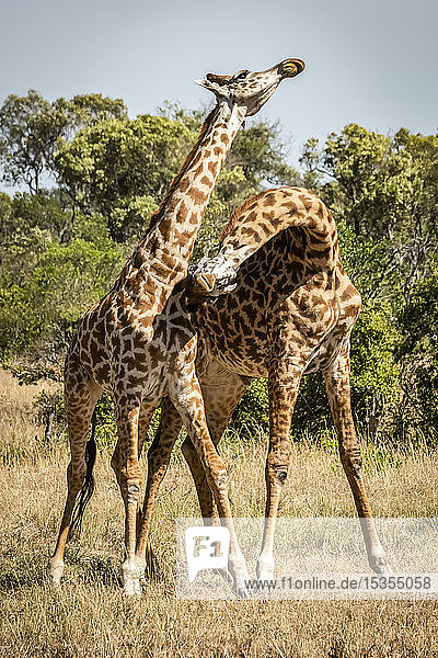 Two Masai giraffe (Giraffa camelopardalis tippelskirchii) stand necking on savannah  Serengeti; Tanzania