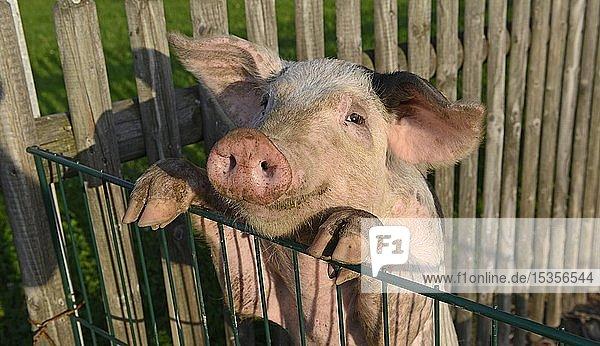 Schwein auf einem Bio-Bauernhof  Oberbayern  Bayern  Deutschland  Europa