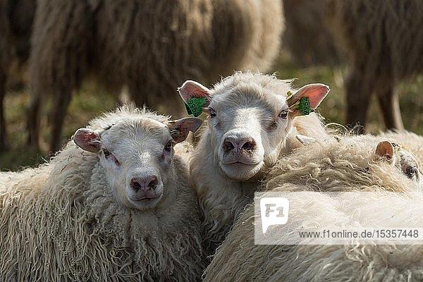 Zwei Schafe (Ovis aries)  Tierportrait  Schafabtrieb oder Réttir  bei Laugarbakki  Nordisland  Island  Europa