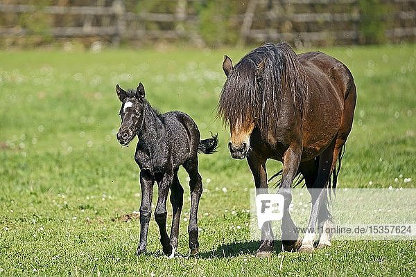 Domestic horse  mare with foal running on the pasture  Germany  Europe