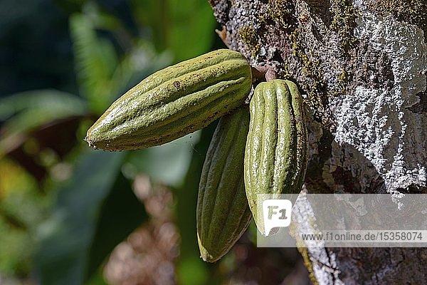 Kakaofrucht (Theobroma cacao) am Kakaobaum  Dominikanische Republik  Mittelamerika