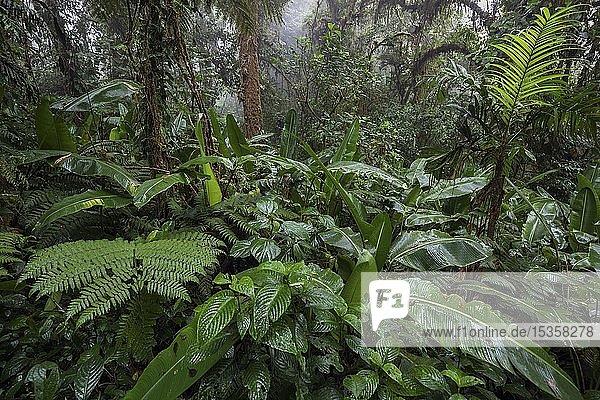 Dichte Vegetation im Nebelwald  Reserva Bosque Nuboso Santa Elena  Provinz Guanacaste  Costa Rica  Mittelamerika
