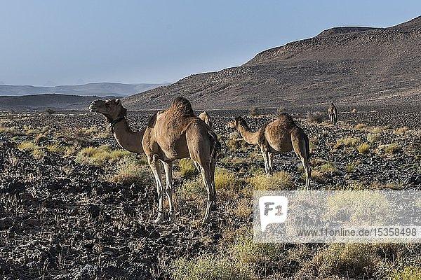 Arabische Kamele in steiniger Wüstenlandschaft  Assekrem  Hoggar Gebirge  Algerien  Afrika