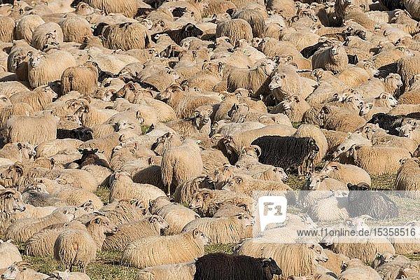 Schafe (Ovis aries) in einem Pferch  Schafabtrieb oder Réttir  bei Laugarbakki  Nordisland  Island  Europa