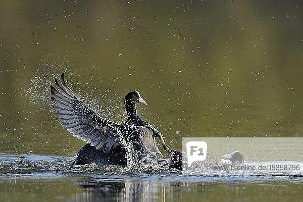 Zwei Blässhühner (Fulica atra)  Revierkampf im Wasser  Niederrhein  Nordrhein-Westfalen  Deutschland  Europa