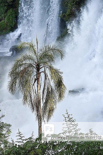 Herabstürzende Wassermassen mit Palme  Iguazu Fälle  Puerto Iguazu  Grenze zu Brasilien  Argentinien  Südamerika