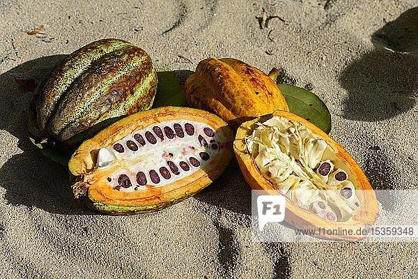 Kakaobaum (Theobroma cacao)  aufgeschnittene Kakaofrucht  Cordillera Oriental  Dominikanische Republik  Mittelamerika