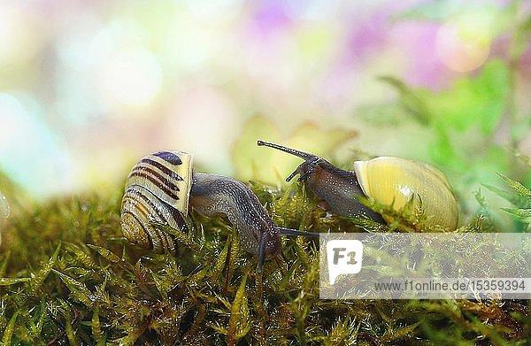 Zwei Schnirkelschnecken (Helicidae) kriechen auf Moos  Deutschland  Europa