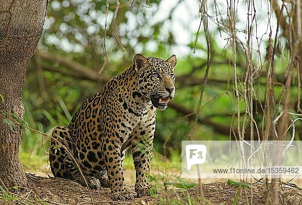 Jaguar (Panthera onca) hält Ausschau  sitzt am Flussufer  Pantanal  Mato Grosso  Brasilien  Südamerika