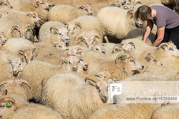 Schafe (Ovis aries) stehen dicht gedrängt in einem Pferch  Schafabtrieb oder Réttir  bei Laugarbakki  Nordisland  Island  Europa