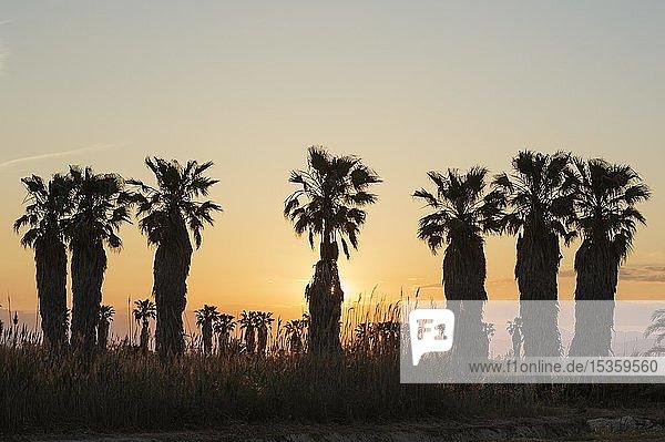 Kalifornische Washingtonpalmen (Washingtonia filifera) bei Sonnenuntergang  Naturschutzgebiet Ebrodelta  Provinz Tarragona  Katalonien  Spanien  Europa