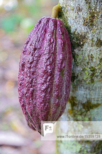 Kakaobaum (Theobroma cacao)  Kakaofrucht  Cordillera Oriental  Dominikanische Republik  Mittelamerika