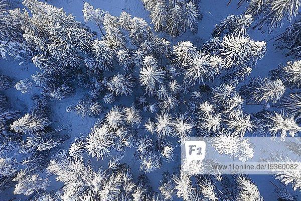 Schneebedeckter Fichtenwald  Drohnenaufnahme  Oberbayern  Bayern  Deutschland  Europa