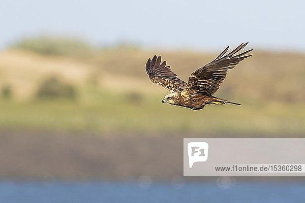 Fliegende Rohrweihe (Circus aeruginosus)  Weibchen  Texel  Nordholland  Niederlande  Europa