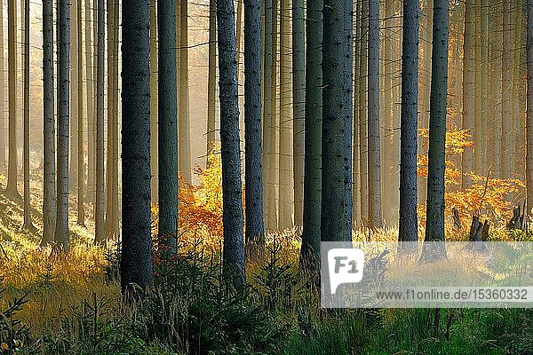Light-flooded spruce forest in autumn  Harz  near Mansfeld  Saxony-Anhalt  Germany  Europe Light-flooded spruce forest in autumn, Harz, near Mansfeld, Saxony-Anhalt, Germany, Europe