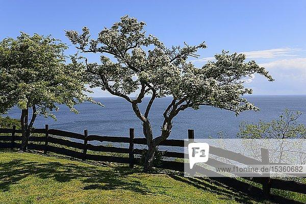 Baum auf einer Klippe  Aussichtspunkt  Lubin  Swinedelta  Insel Wollin  Westpommern  Polen  Europa