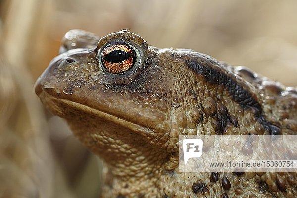 Erdkröte (Bufo bufo)  Weibchen  Tierportrait  Schleswig-Holstein  Deutschland  Europa