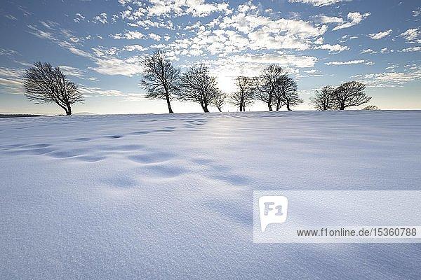 Nachmittag mit Schnee bei den Windbuchen auf dem Schauinsland  Schwarzwald  Baden-Württemberg  Deutschland  Europa