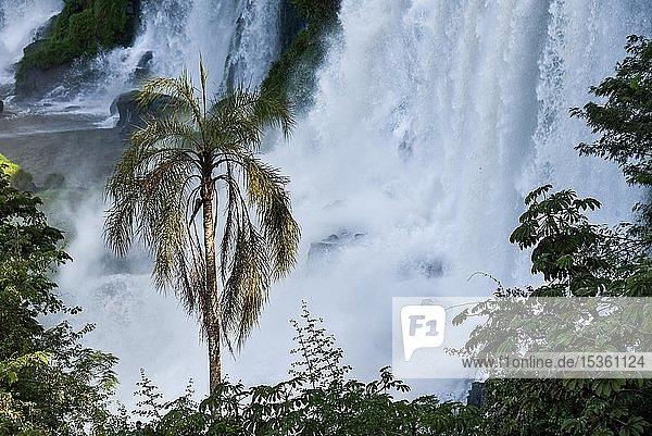 Herab stürzende Wassermassen mit Palme  Iguazu Fälle  Puerto Iguazu  Grenze zu Brasilien  Argentinien  Südamerika