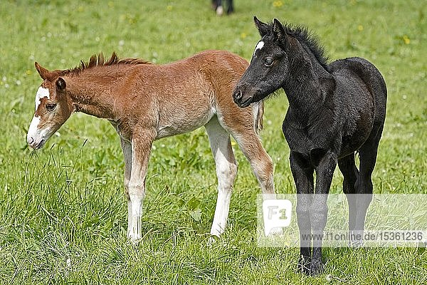 Domestic horses  two foals on the pasture  Germany  Europe