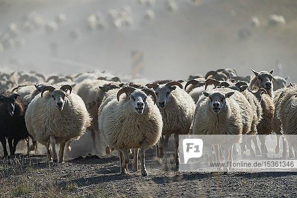 Schafe (Ovis aries)  Herde bei Schafabtrieb oder Réttir  bei Laugarbakki  Nordisland  Island  Europa