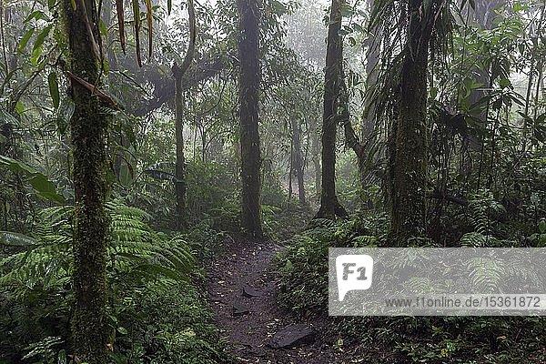 Encantado Trail  Wanderweg durch dichte Dichte Vegetation im Nebelwald  Reserva Bosque Nuboso Santa Elena  Provinz Guanacaste  Costa Rica  Mittelamerika