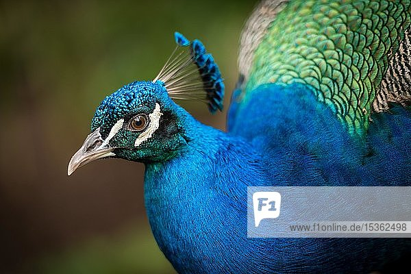 Blauer Pfau (Pavo cristatus)  Hahn  Tierportrait  Andalusien  Spanien  Europa