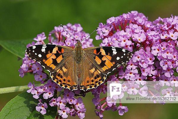 Distelfalter (Vanessa cardui) (Cynthia cardui)  Schmetterling auf Blüten vom Schmetterlingsflieder (Buddleja davidii)  Schleswig-Holstein  Deutschland  Europa