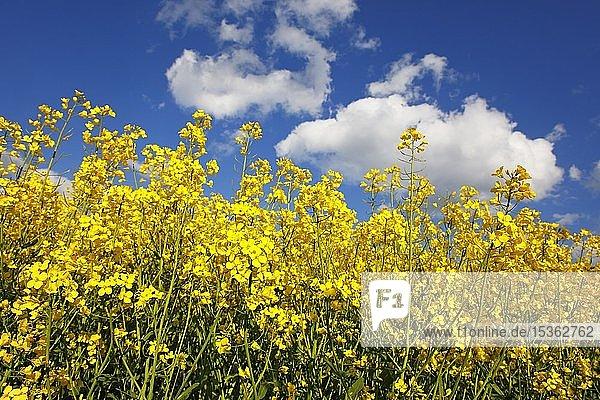 Blühender Raps (Brassica napus)  Rapsfeld  blauer Himmel mit Schönwetterwolken  Schleswig-Holstein  Deutschland  Europa